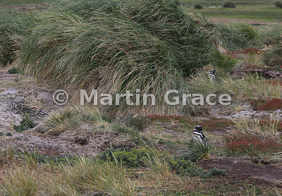 Two Magellanic Penguins (Spheniscus magellanicus) near their burrows above the beach at Dyke Bay, Carcass Island, Falkland Islands, with tussac (Poa flabellata)