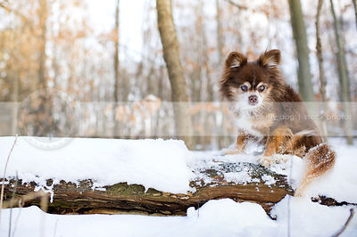 chihuahua and crosses stock photos