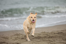 Yellow Labrador with Tongue Out Running in Sand with Surf Behind it