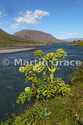 Garden Angelica (Angelica archangelica) by Horga river, Eyjafjordur District, north Iceland