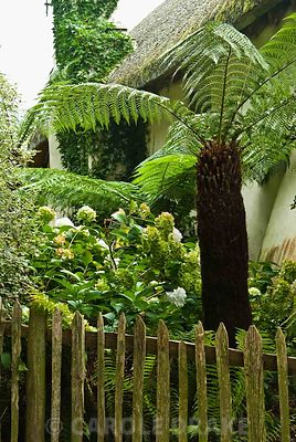 Tree ferns and hydrangeas inside the picket fence. Bertie's Cottage Garden, Yeoford, Crediton, Devon, UK