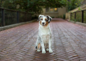 Australian Shepherd Puppy Sitting on Brick Pathway with Head Tilt