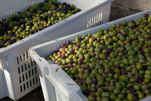 Freshly harvested bins of arbequina olives