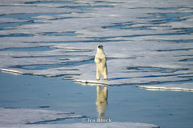 A polar bear stands tall on an ice floe in Northern Storfjorden.