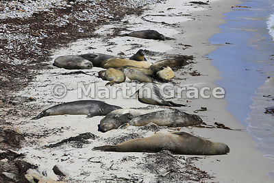 Southern Elephant Seals (Mirounga leonina), beach west of The Plain, Carcass Island, Falkland Islands