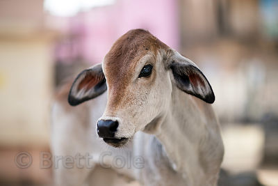 Beautiful calf in Pushkar, Rajasthan, India