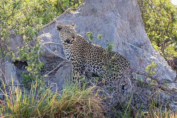 Leopard Standing against an Anthill