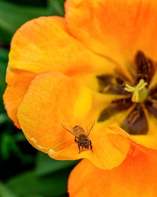 Bee on Tulip