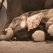 (RM) Elephant lying down on sandy soil