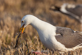 Western Gull Picking up Nest Materials as Part of a Mating Display