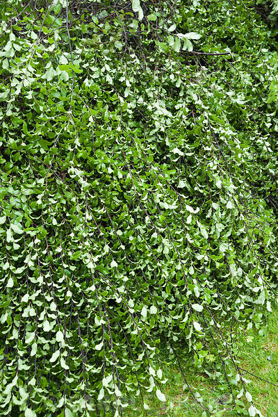 Pittosporum is prepared outside the house for use in the Christmas garland at Cotehele, St Dominick, nr Saltash, Cornwall, UK