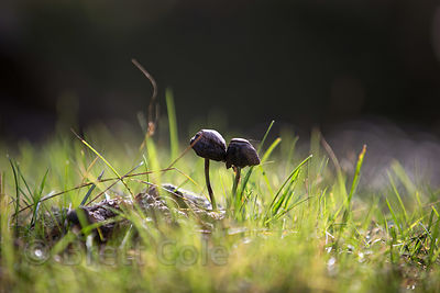 Mushrooms in a meadow on Rohtang Pass, Manali, India
