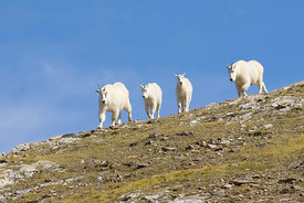 September - Mountain Goats