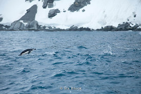 Porpoising chinstrap penguin found around Elephant Island.