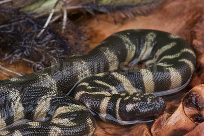 Little file snake / Acrochordus granulatus photos