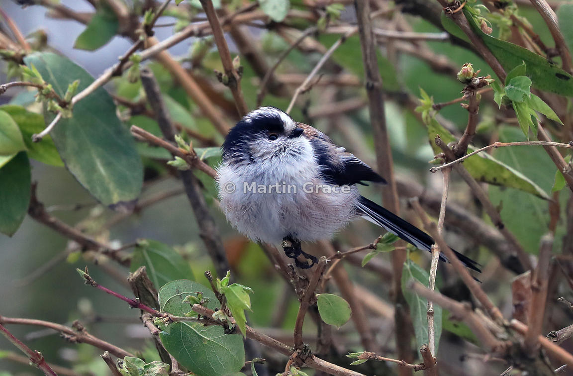Long-Tailed Tit (Aegithalos caudatus), Lake District National Park, Cumbria, England