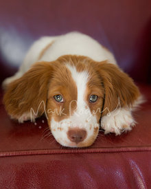 Brittany spaniel puppy laying on paws