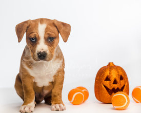 Brown and white puppy sitting next to halloween pumpkin