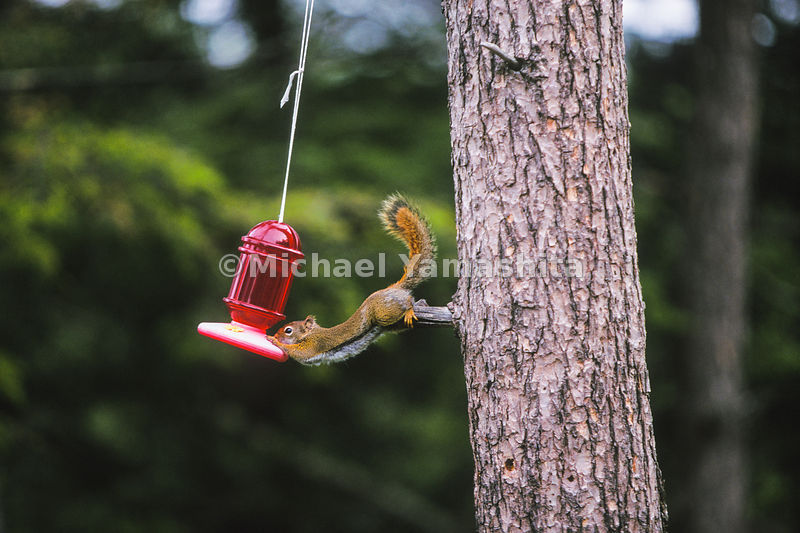 A brave squirrel lunges towards a birder feeder.