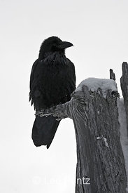 Common Raven (Corvus corax) perched on a dead tree on Hurricane Ridge, Olympic National Park, Olympic Peninsula, Washington, USA, March, 2009_WA_8164