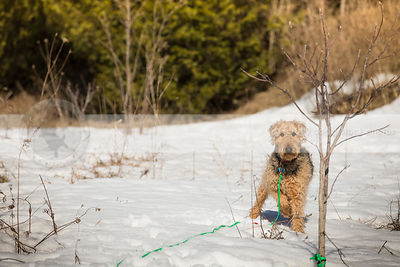 airedale terrier standing in wintry landscape staring at viewer