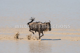 wildebeest_lake_crossing_sequence_02242015-115