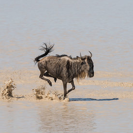 Wildebeest wildlife photos