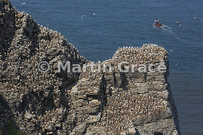 Part of the huge Northern Gannet (Morus bassanus) colony on Bempton Cliffs (RSPB), East Riding of Yorkshire, England