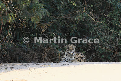 Female Jaguar (Panthera onca) known as Hunter at the top of the beach, Three Brothers River, Northern Pantanal, Mato Grosso, Brazil. Image 1 of 62
