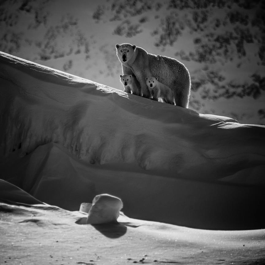 Polar bear and cubs looking at us, Baffin Island Canada 2016 © Laurent Baheux
