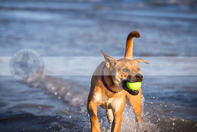 red cross breed dog fetching ball splashing in lake