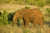 Young elephant, Loxodonta africana, Kruger National Park, South Africa