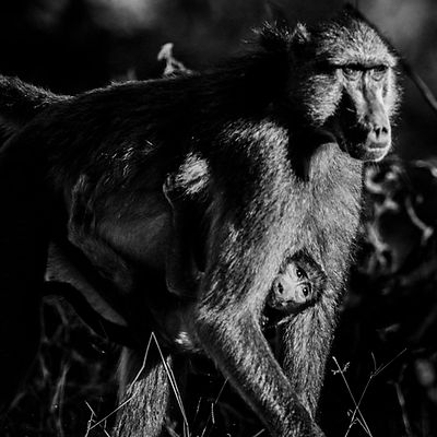 1624-Baby_baboon_in_mother_s_arms_Kenya_2006_Laurent_Baheux