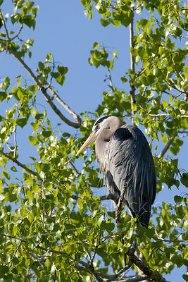 Great Heron_Q8J8113
