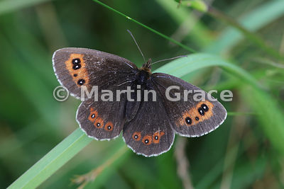 Upper side of male Scotch Argus butterfly (Erebia aethiops) resting on grass, Scottish Highlands, Cairngorms National Park, Badenoch, Scottish Highlands