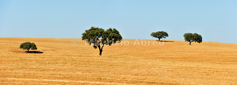 Holm oaks in the vast plains of Alentejo. Portugal