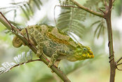 Rwenzori three-horned chameleon, Chamaeleo johnstoni, Bwindi Impenetrable National Park, Uganda