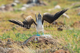blue_footed_booby_north_seymour-68