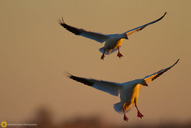 Snow Geese Coming in for a Landing