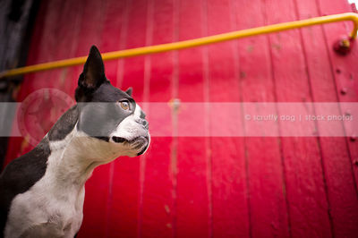 boston terriers photos