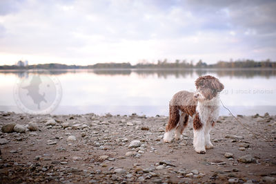 shy portuguese water dog standing on beach
