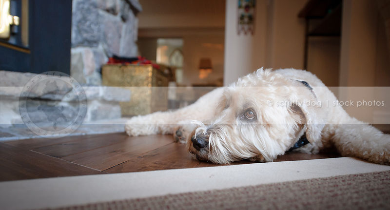 tired terrier dog resting on hardwood floor at home indoors