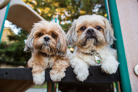 Two shih tzus side by side