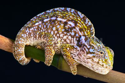 Carpet chameleon / Furcifer lateralis photos