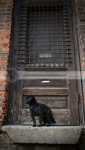 little black dog standing in doorway with brick wall