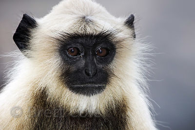 Portrait of a langur monkey, Ajaypal, Rajasthan, India