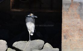 Kingfisher under the pier
