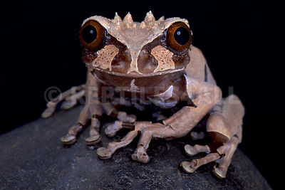 spiny-headed tree frog (Anotheca spinosa)  photos