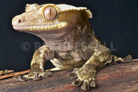 Rhacodactylus ciliatus, Crested Gecko, studioshot the Netherlands, 20th of May 2012.