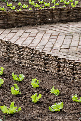 Lines of freshly planted Lettuce 'Unrivalled' in beds edged with low hazel hurdles. RHS Garden Rosemoor, Great Torrington, Devon, UK